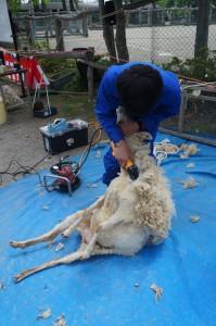 羊の毛刈りデモ