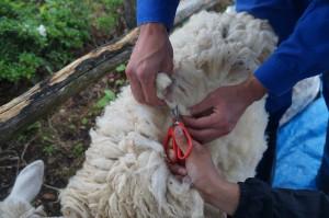 毛刈り体験